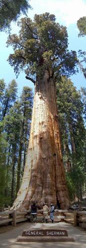 plus grand arbre du monde